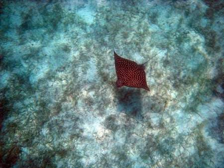 spotted_eagle_ray_christmas_cove__450x338_